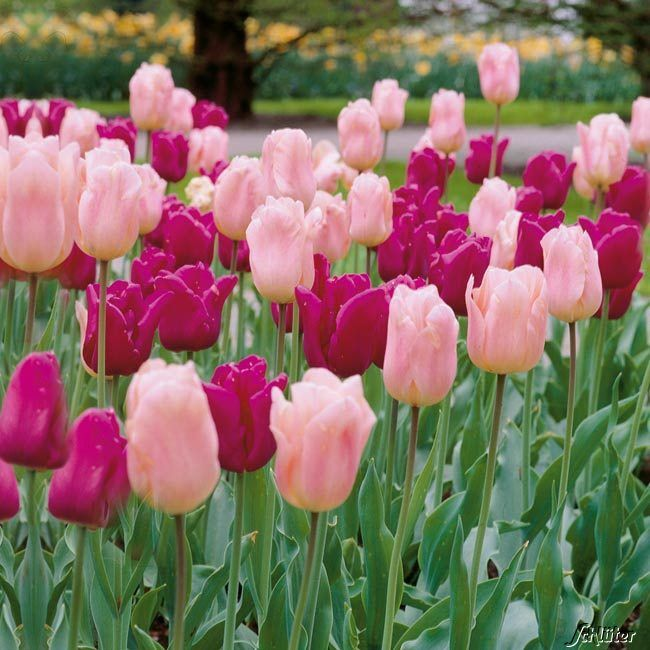 triumph tulpe 39 passionale 39 10 st ck tulipa 39 passionale 39 garten pinterest tulpe lila. Black Bedroom Furniture Sets. Home Design Ideas