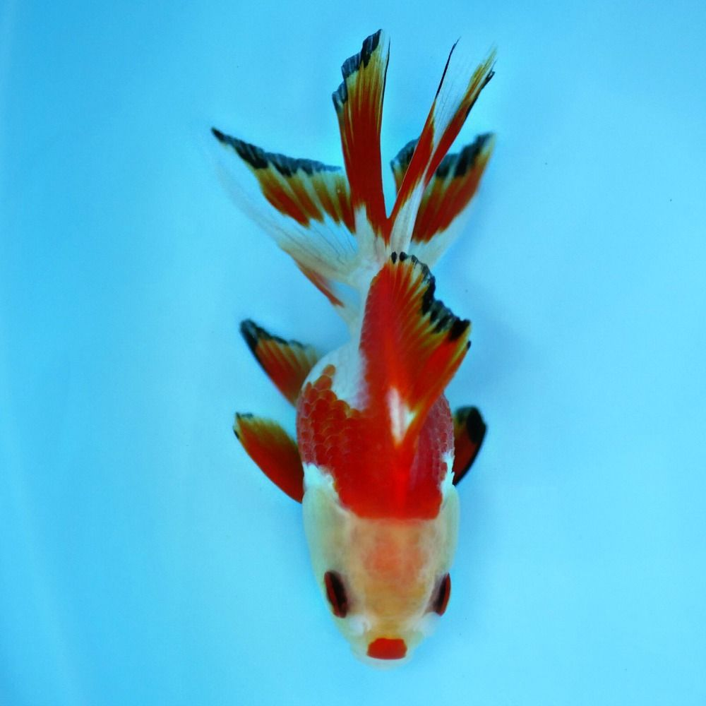 Goldfish For Sale Online All Pictures Are Taken By Windsor Fish Hatchery They Are Of The Exact Koi You Will Goldfish For Sale Fancy Goldfish For Sale Goldfish