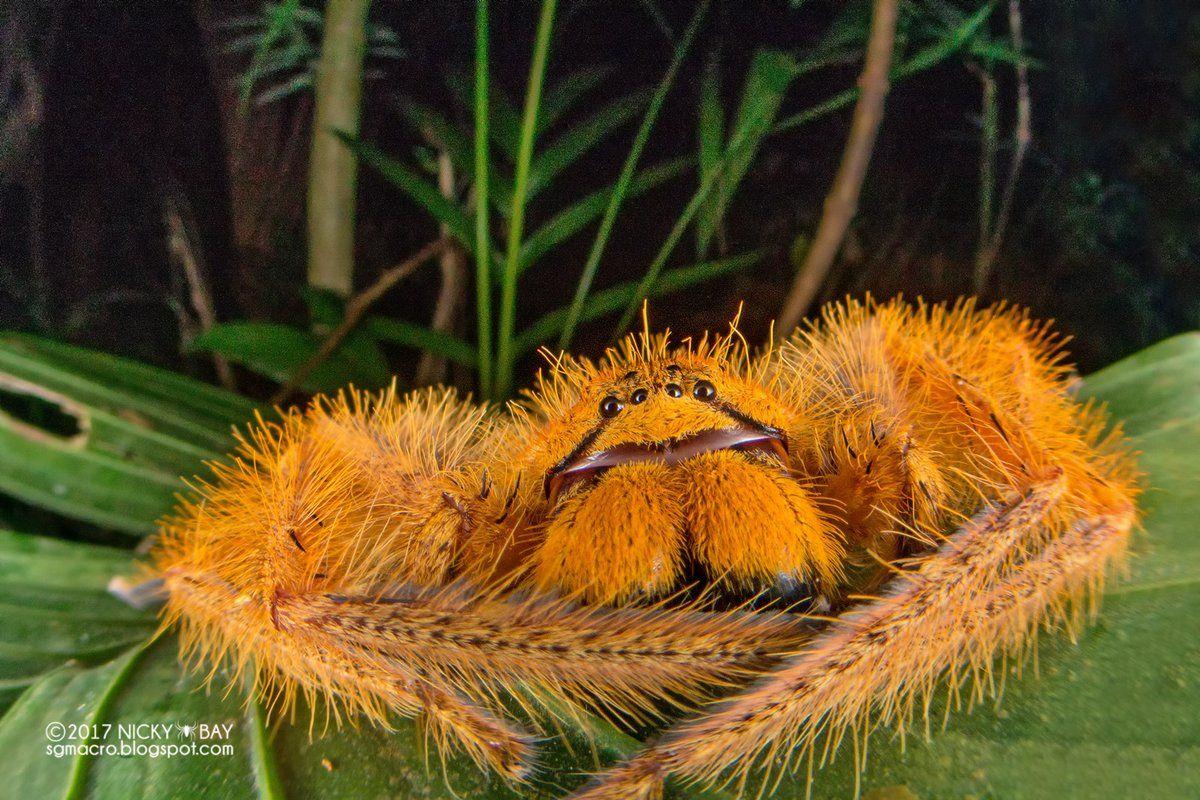 Heteropoda Davidbowie Spinnentiere Tiere Spinne