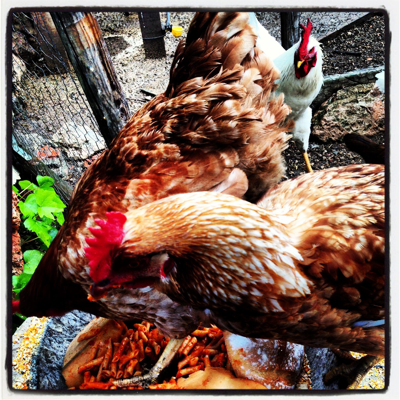 Claudio y sus gallinas