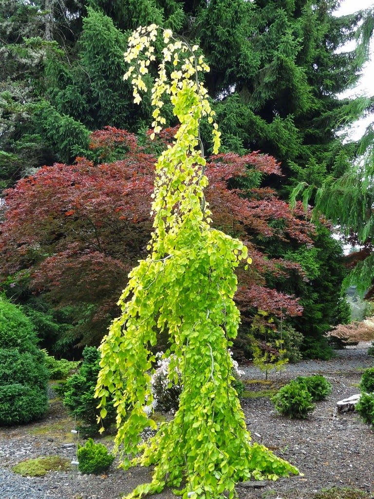 Golden Weeping Beech grown in a container ~ Glorious!. I have an ...