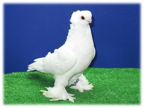 Pigeonclubsusa Com Doga Kus