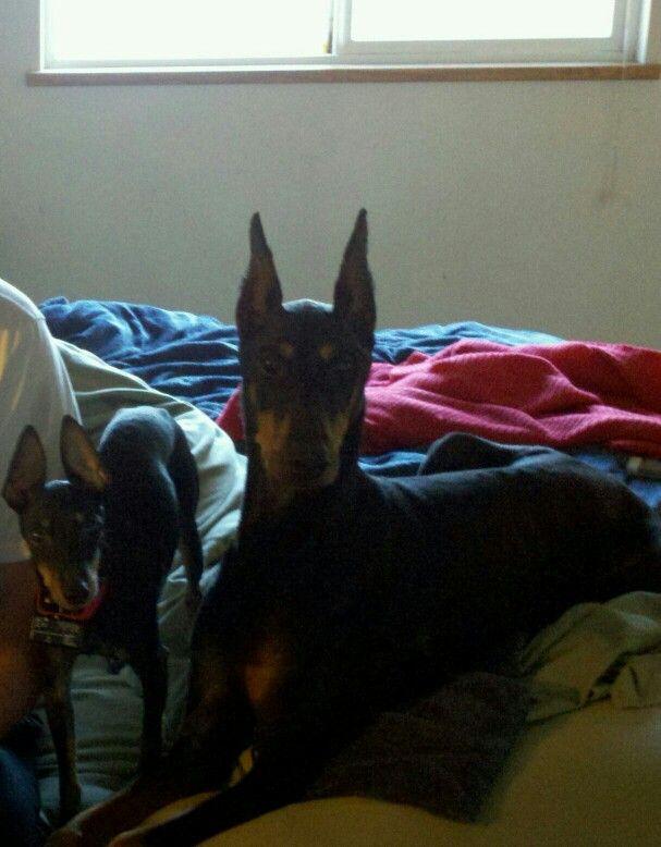 My Diana Banana Doberman Dogs Animals