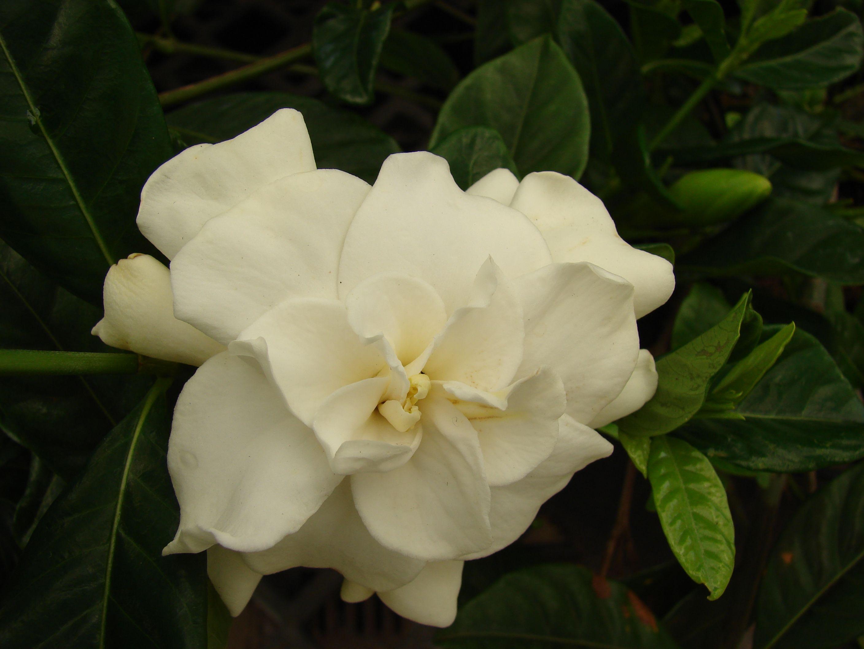 Gardenia Is A High Maintenance Beauty Gardenia Bush Plants Trees To Plant