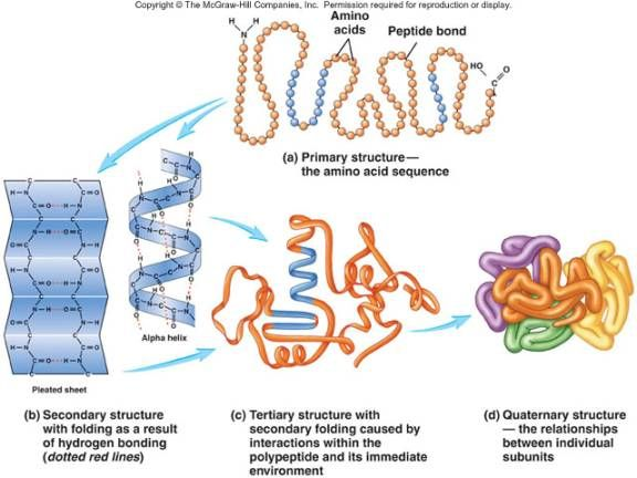 ... and Quaternary structure of a protein | School | Pinterest | Protein