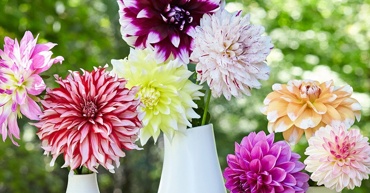 Dahlia Flowers How To Grow And Arrange These Gorgeous Blooms In 2020 Dahlia Flower Flowers Flower Garden