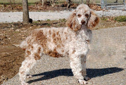 Adopt Fancy Adopted On Poodle Fancy Adoption
