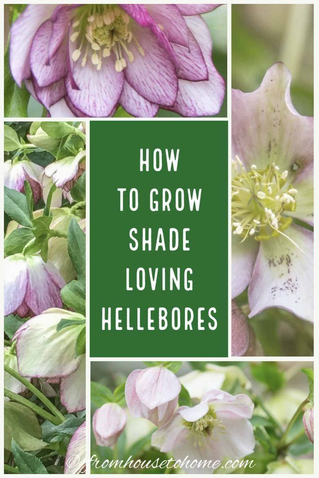 Hellebore Care How to Grow ShadeLoving Lenten Rose is part of Lenten rose, Spring garden flowers, Roses garden care, Early spring flowers, Shade loving perennials, Shade perennials - Lenten Rose is one of the earliest blooming and lowest maintenance perennial flowers in the shade garden  Learn just how easy Hellebore care is with these tips on growing, fertilizing, and pruning Christmas Rose