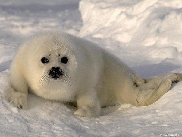 Байкальская нерпа относится к семейству настоящих тюленей. Обитает в озере Байкал в северной и средней его частях. Средняя длина тела взрослой особи — 165 см. Живут эти млекопитающие до 55 лет.
