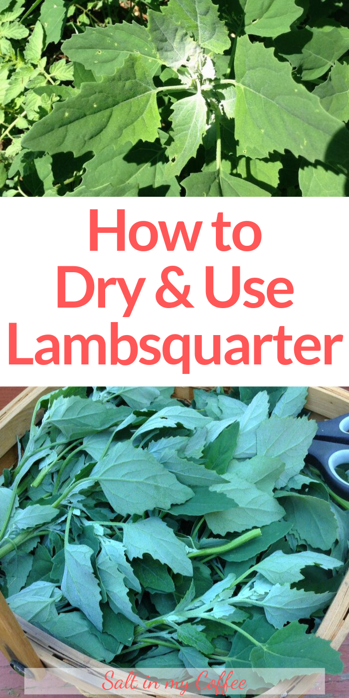 How to Dry and Use Lambsquarters