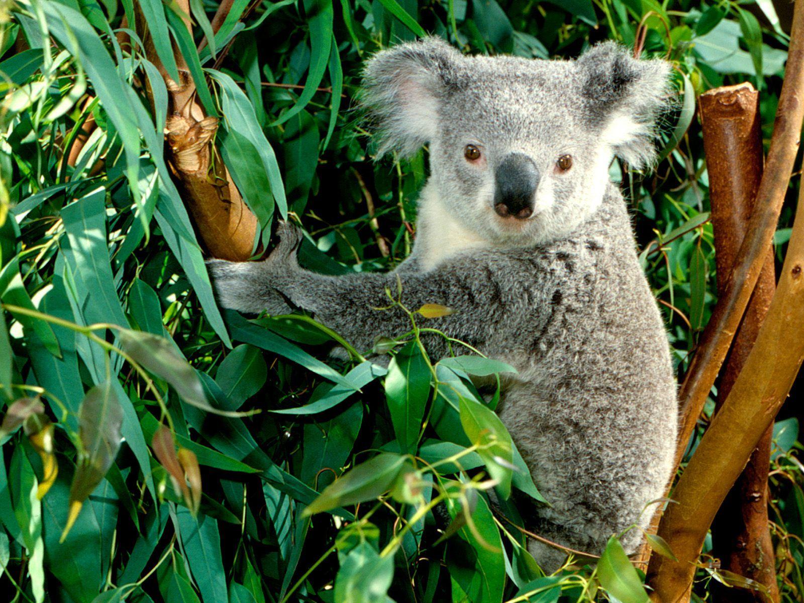 Cute Koalas Photos For Wallpaper Photography Center Koala Bear Cute Koala Bear Koala