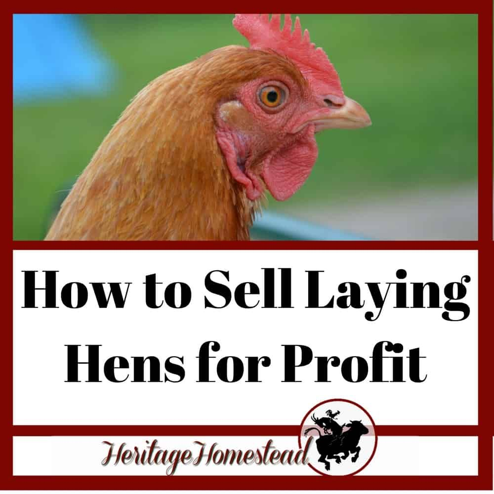 How to Sell Laying Hens and Make a Profit Care