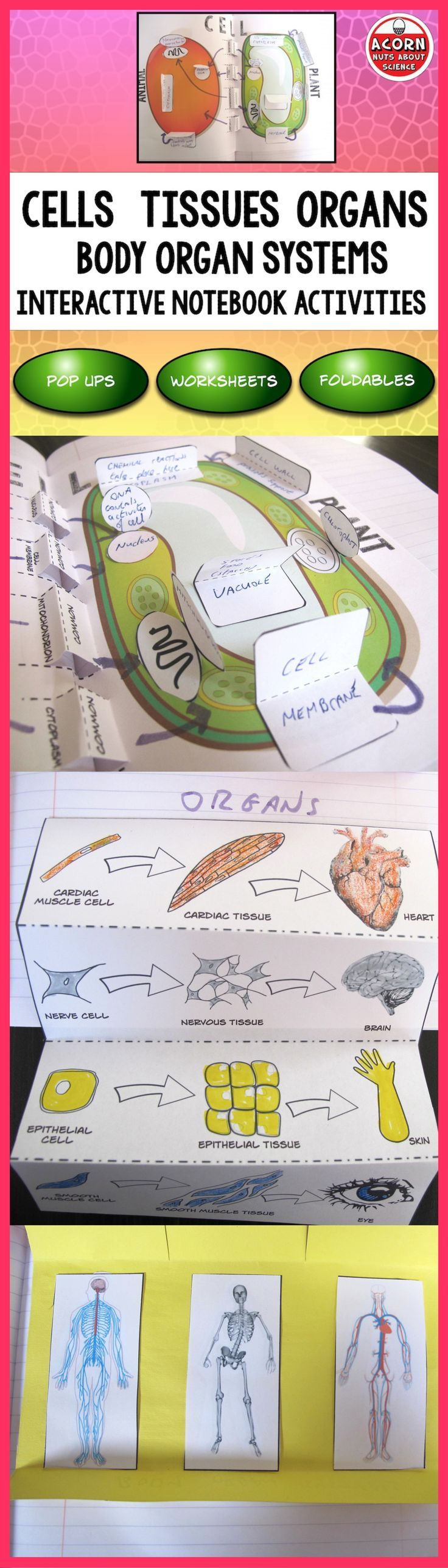 Levels Of Organization Cells Tissues Organs Interactive Notebook Teaching Biology Science Classroom Science Cells