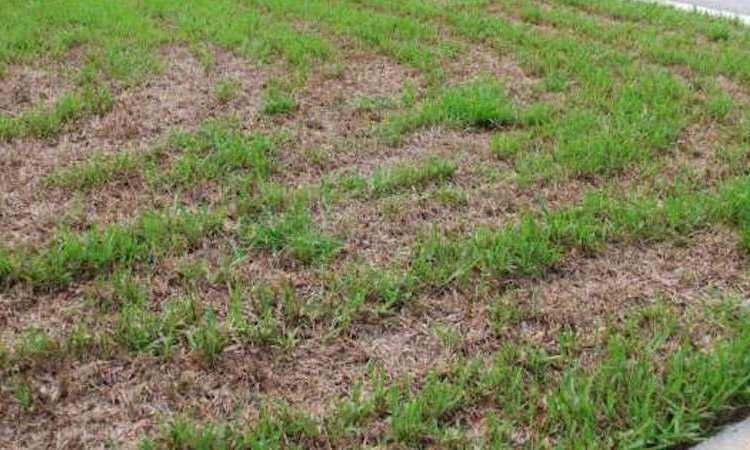 Repair A Damaged Saint Augustine Lawn St augustine grass