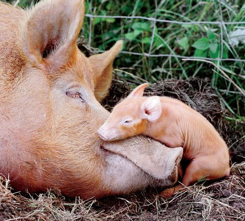Pig and Piglet - Photograph by Craig W. Walsh/iStockphoto.com. A ...