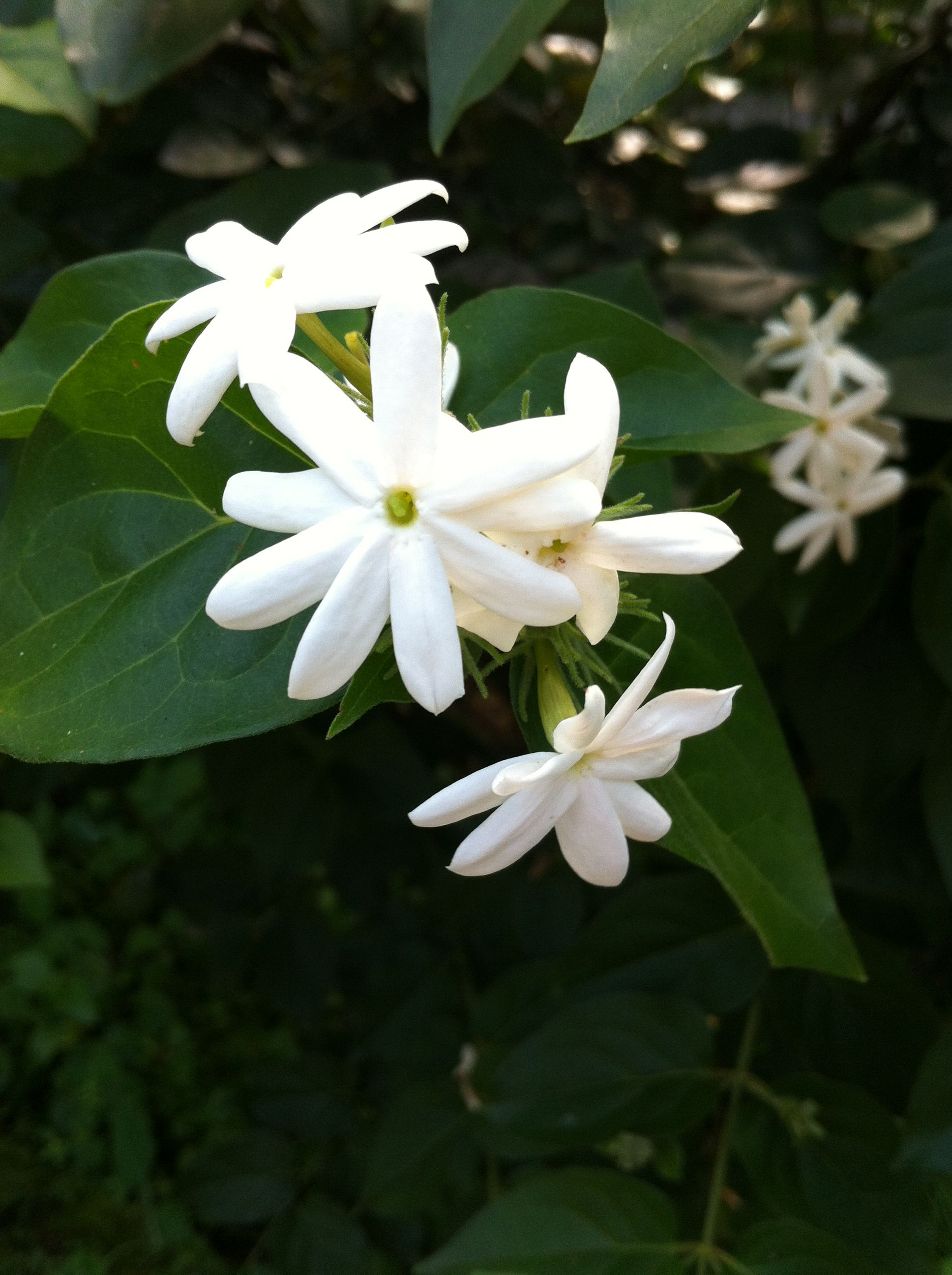 Jasmine in a Bali temple, a powerful scent said to increase your magnetism and beauty!