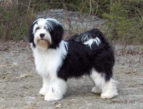 Tibetan Terrier Tibetan Terrier Terrier Terrier Dogs
