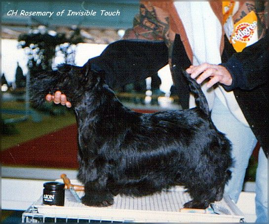 INVISIBLE TOUCH KENNEL CH Rosemary of Invisible Touch My first Scottie 1990 Her last won CACIB at age of 8 years on Belgrade International Dog Show by judge Hans Bierwolf from Austria