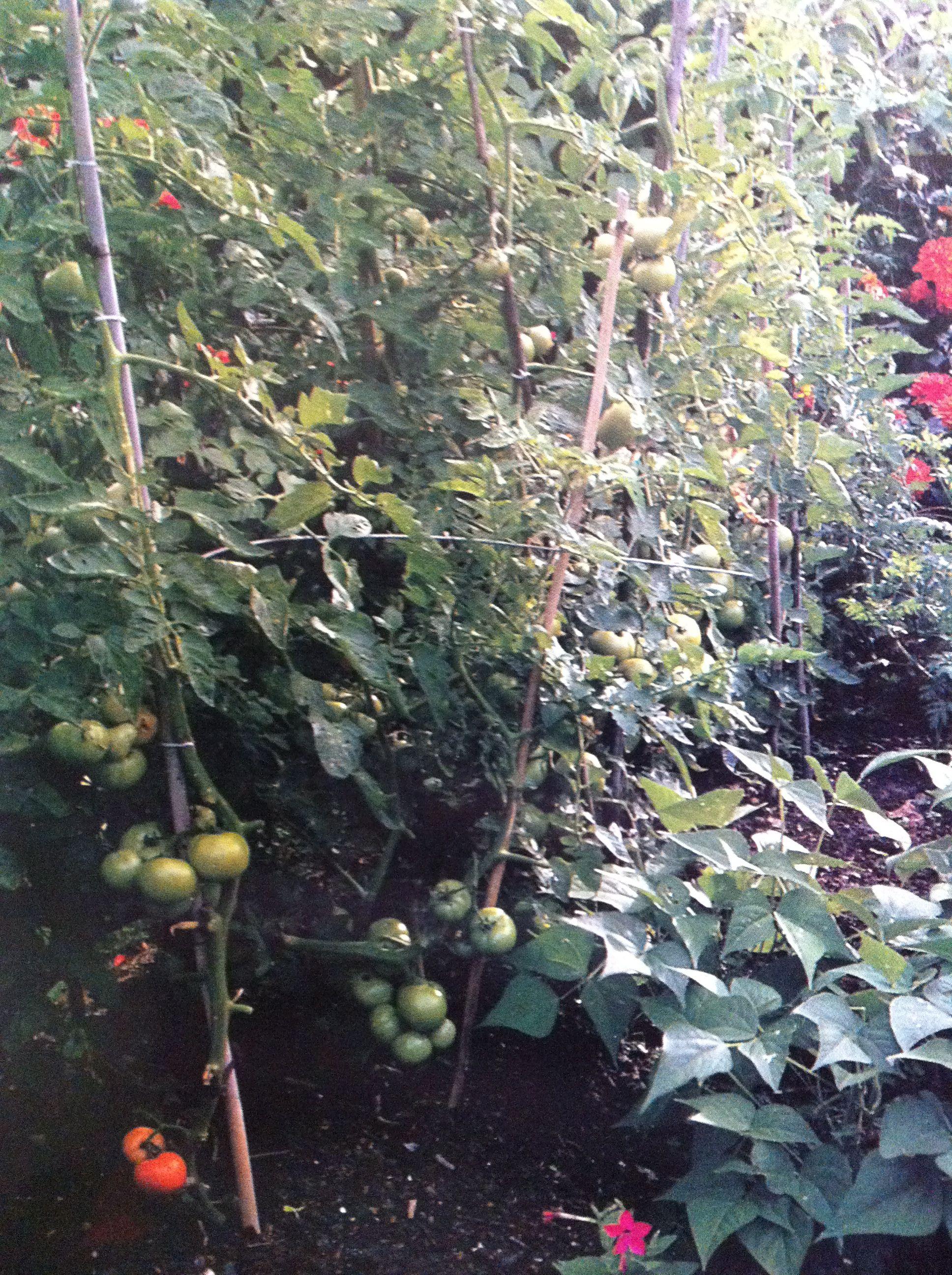 tomato trellis up one pole | Garden | Pinterest | Gardens and Plants