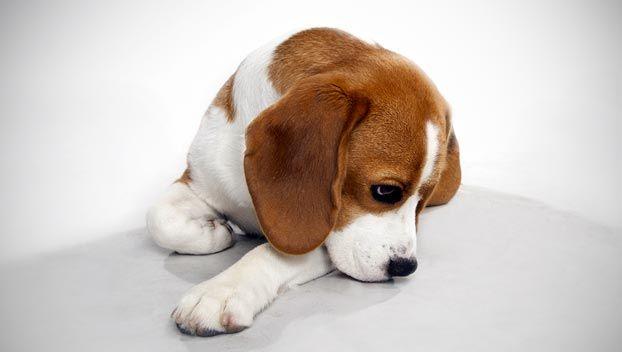 Beagle Dog Breed Selector Cute Beagles Dog Breeds Cute Puppies