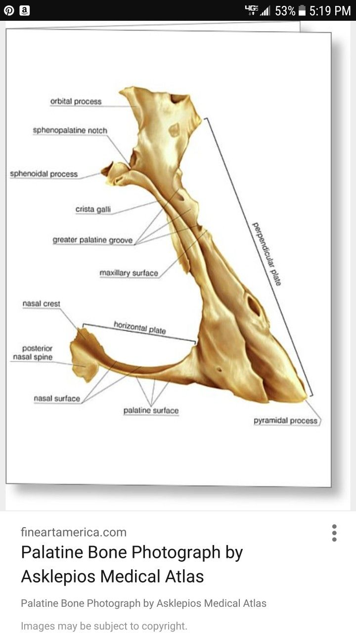 Palatine Bone | Head & Neck Anatomy | Pinterest