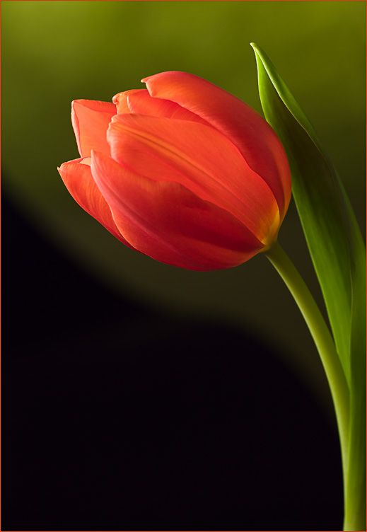 Red Tulip On Green Black Photo Net In 2020 Tulips Flowers Amazing Flowers Tulips