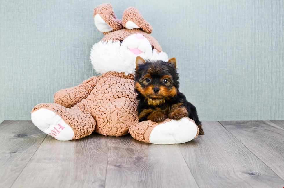 Yorkie Puppies Ohio Yorkshire Terriers For Sale Online