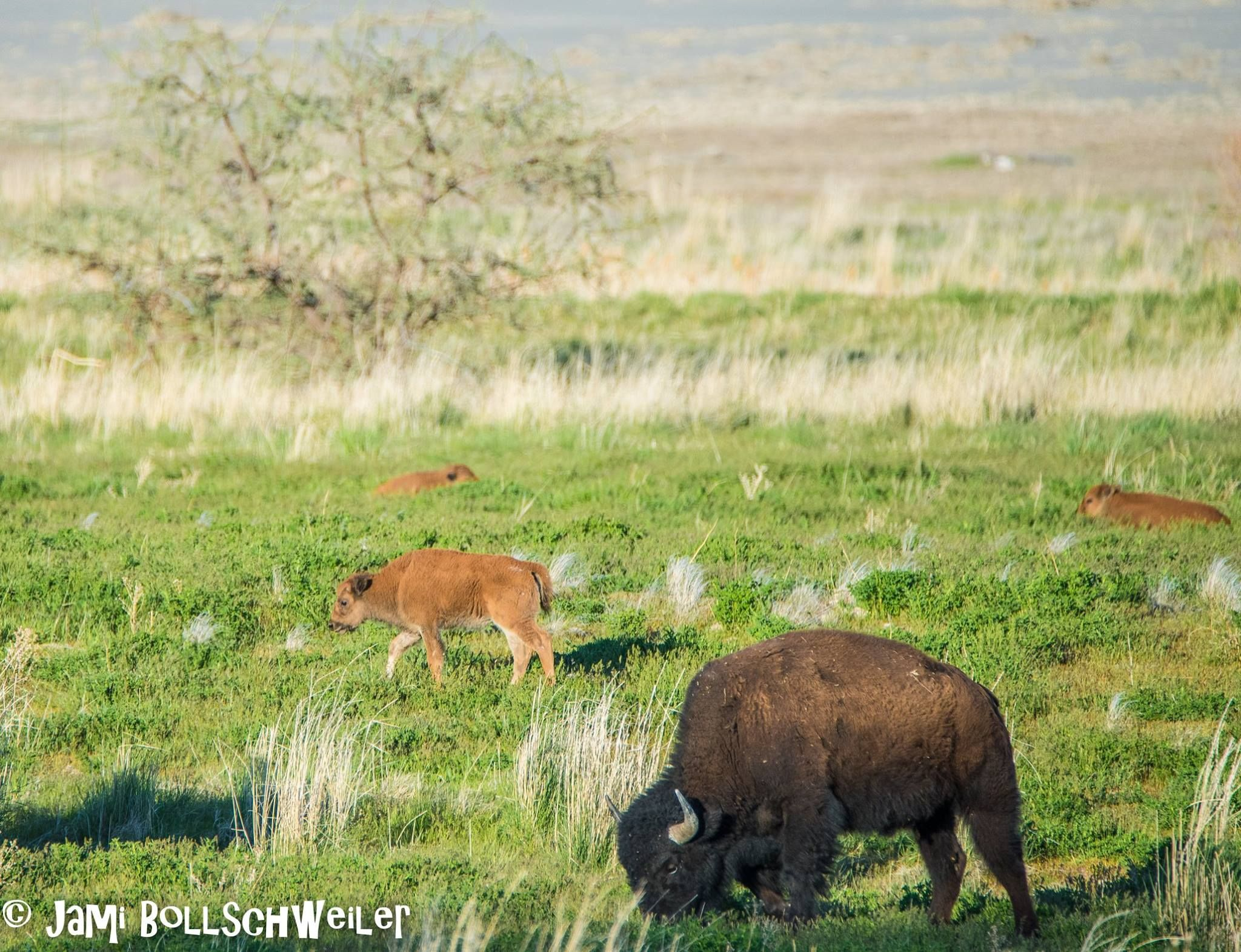 """Baby Bison """"Little Reds"""" not buffalo at Antelope Island State Park"""