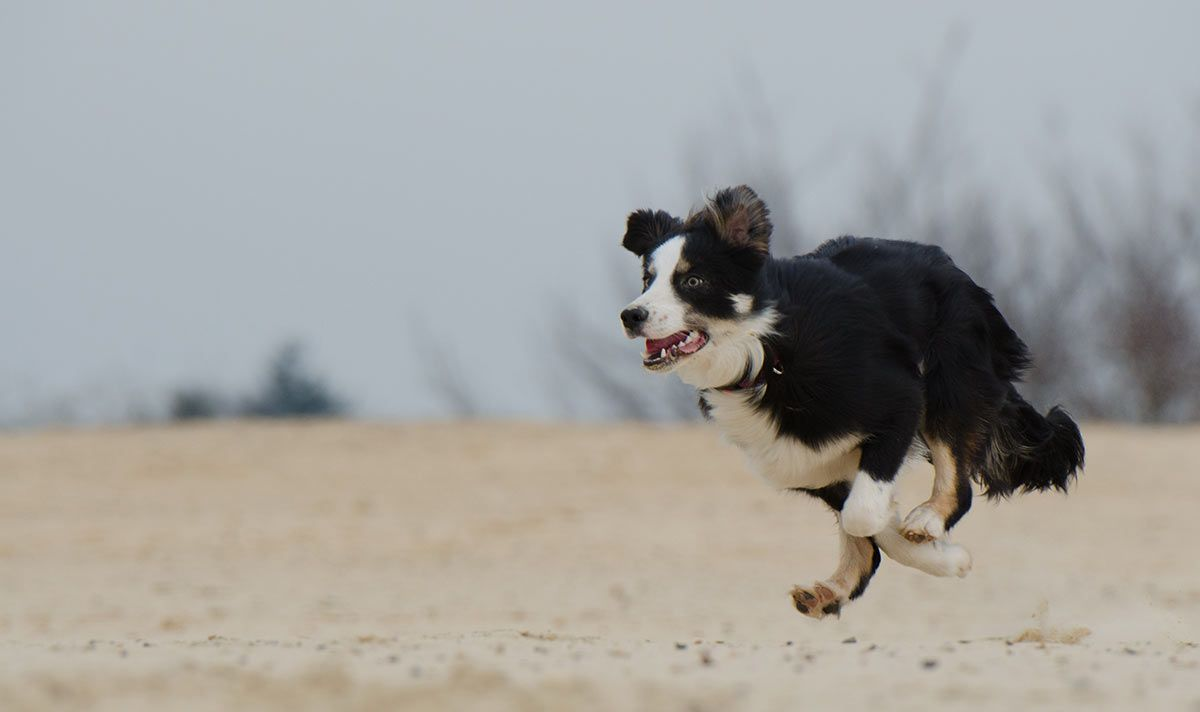 Teach Your Dog The Emergency Recall Dogs Aggressive Dog Dog Runs
