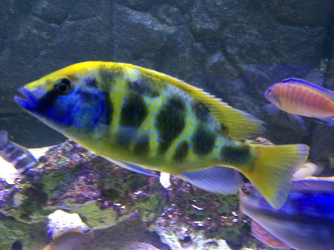 Male Venustus African Cichlid African Cichlids Fish Pet Cichlids