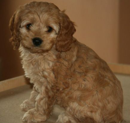 Puppies For Sale Cockapoos In Iola Wisconsin Cockapoo Puppies For Sale Cockapoo Dog Puppies
