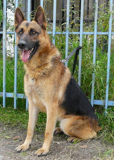 My Dog Saxon From Westside Shepherd Rescue Dogs