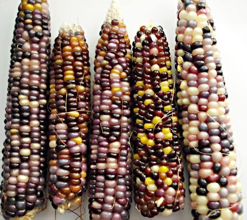 110 Glass Gem Indian Corn Seeds Landrace Seed Non Gmo Organic In