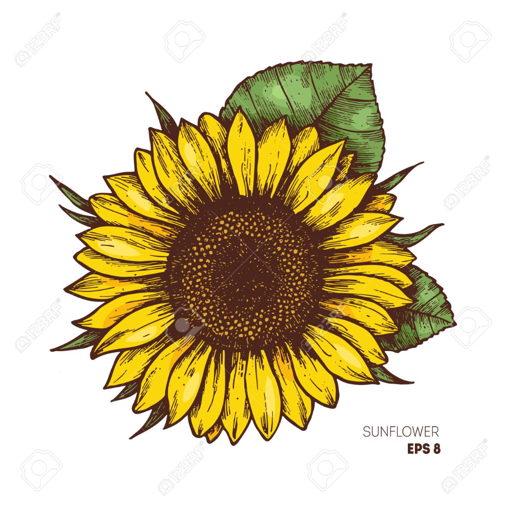 Sunflower Vintage Engraved Illustration Sunflower Isolated Sunflower Drawing Sunflower Illustration Sunflower Clipart