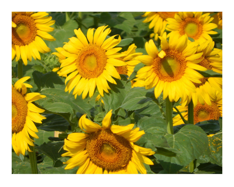 Happy Sunflowers Bright Yellow Sunflowers Standing Tall In Etsy Sunflower Photo Yellow Sunflower Sunflower Fields