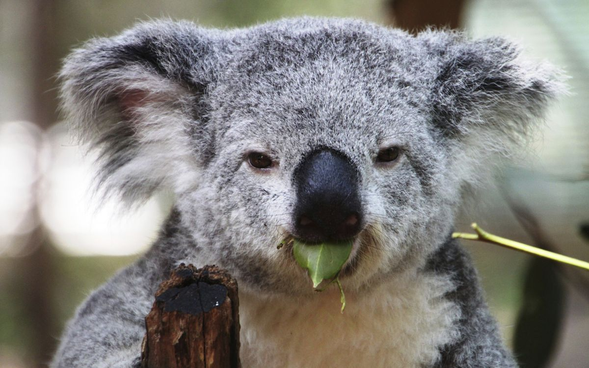 best images about cute nature koala panda panda rossi 17 best images about cute nature 9685 koala panda panda rossi wombati wombat giant pandas and baby koala