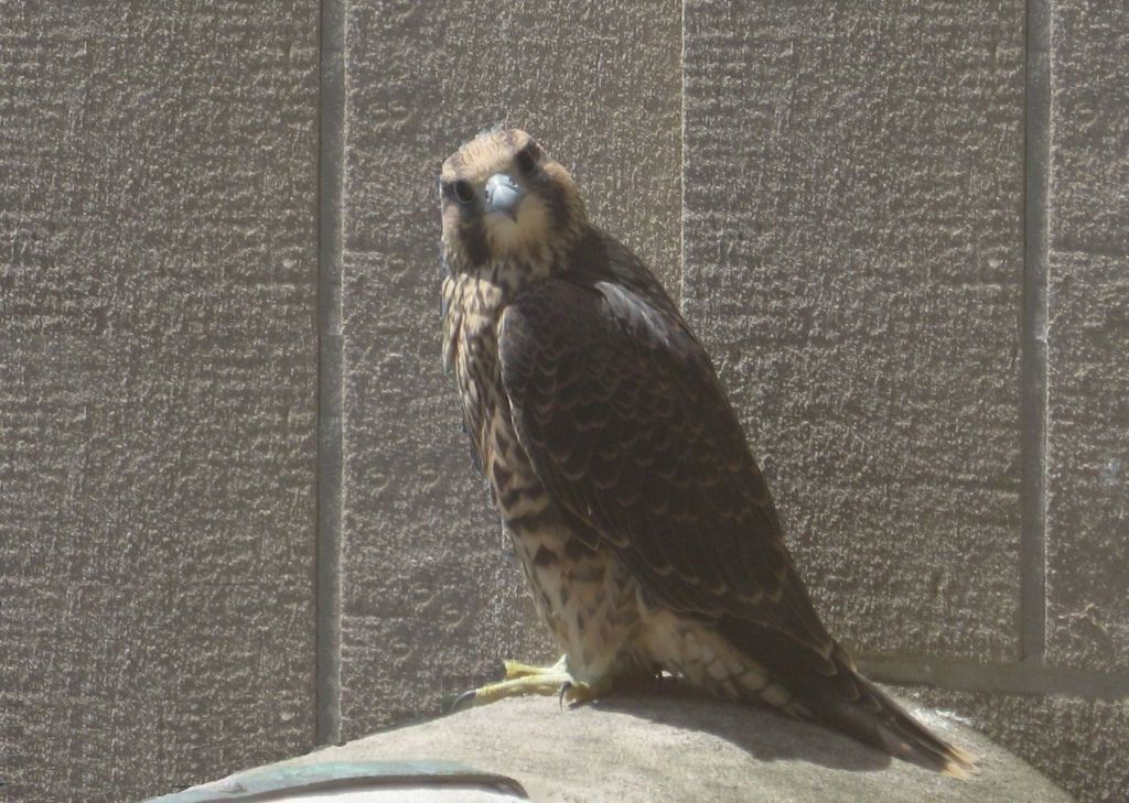 This Year The Pa Game Commission Will Track A Few Young Peregrine Falcons Using Nanotags And Motus Technology Nanotags A Peregrine Peregrine Falcon Cell Tower