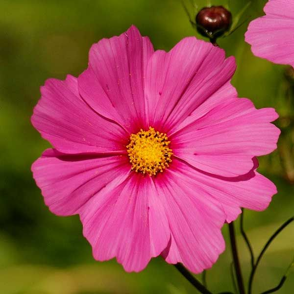 Cosmos Radiance Flowers Are Deep Rose With Dark Purple Red Centers With Images Flower Seeds Annual Flowers Cosmos Flowers