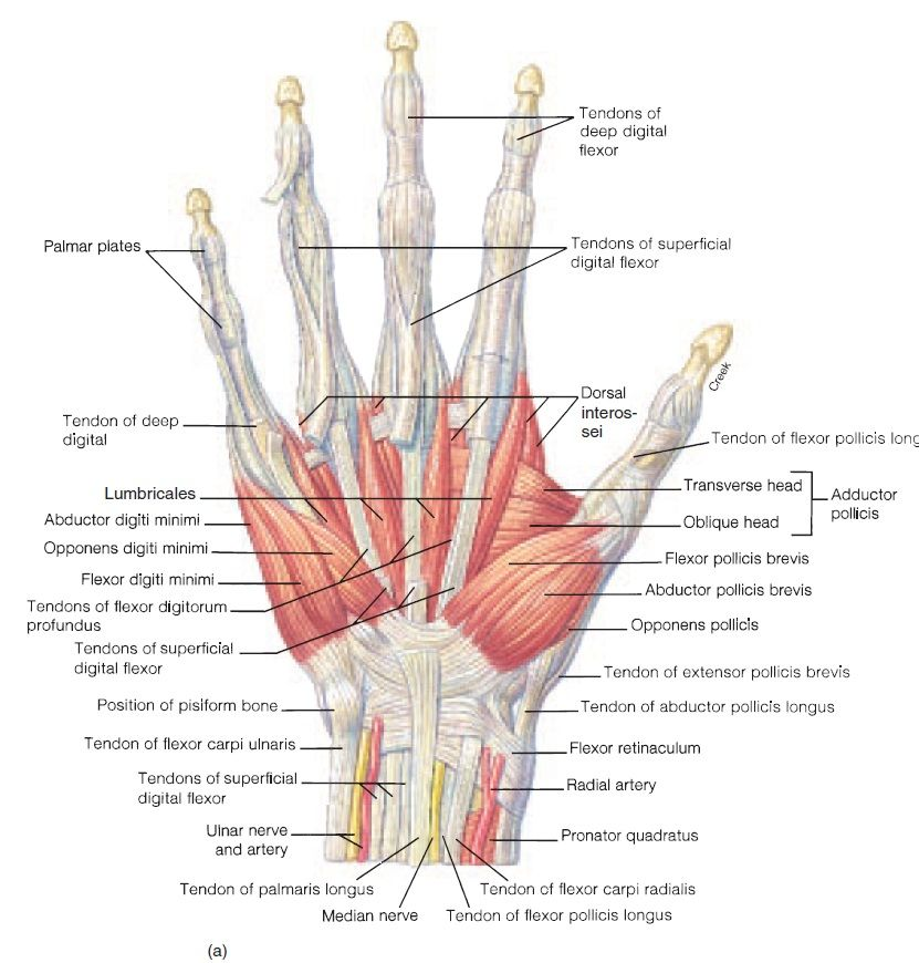Hand Tendon And Muscles Anatomy Anterior View Anatomy Note World