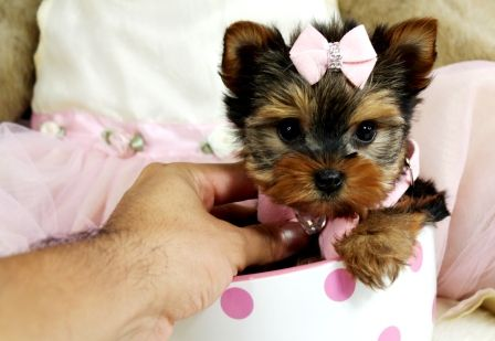 Yorkie Teacup Puppies For Sale We Ship Very Safe Easy Financing Available Visit Our Teacup Yorkie For Sale Teacup Puppies For Sale Small Puppies For Sale