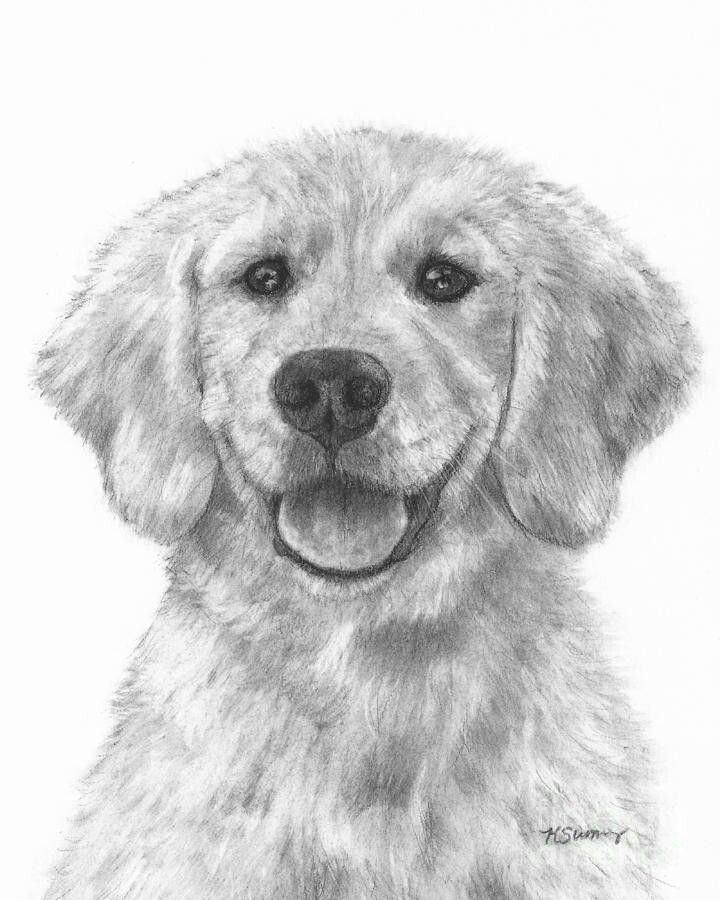 Pin By April Dikty Ordoyne On Dogs Puppy Drawing Golden