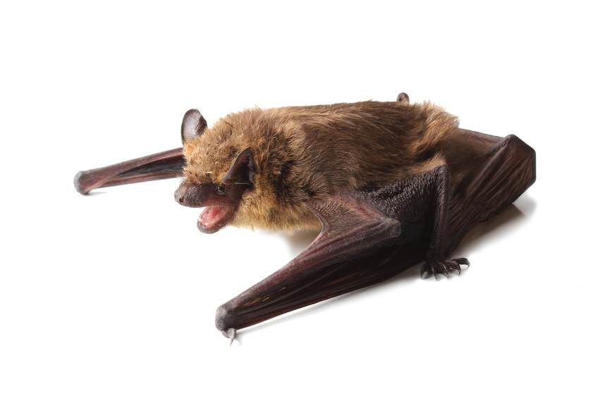 What To Do If There S A Bat In Your House And How To Keep Bats Out Bat Getting Rid Of Bats Bat Sounds