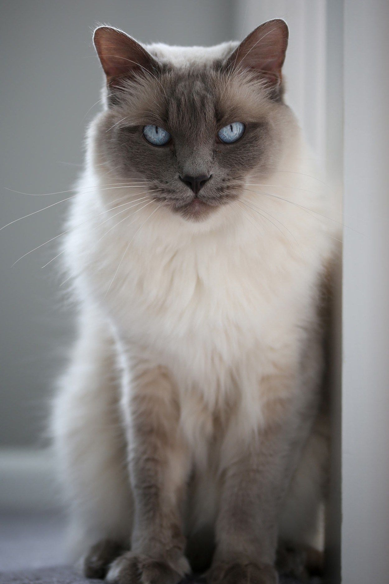 Siamese Cat 39 Applehead Siamese Cat Pictures Life Criters In 2020 Siamese Cats Cat Pics Most Popular Cat Breeds