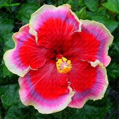 Pin On Hibiscus