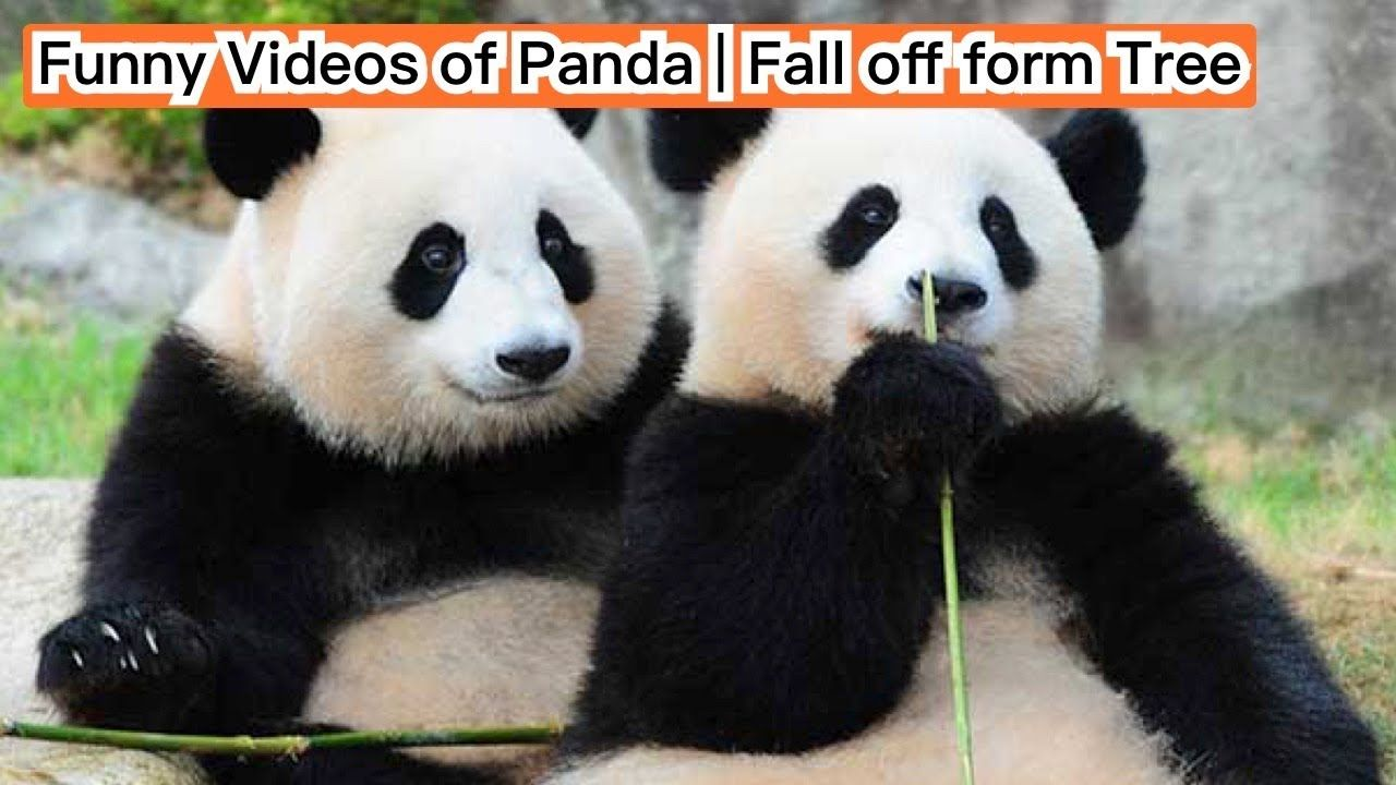 funny videos of panda