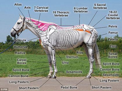 Pintan caballos para estudiar anatomia !!! | Pinterest | Los ...