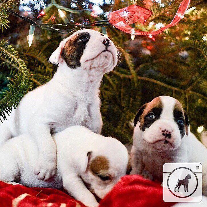 @honeyspunboxers Only two more sleeps! #boxergram #boxer #boxers #boxerpuppy #boxerpuppies #boxerdog #boxersofinstagram #boxerdogs #dog #dogs #puppy #puppylove #puppies #pet #pets #cute #animals #weeklyfluff #boxeraddict #boxerlove by boxergram