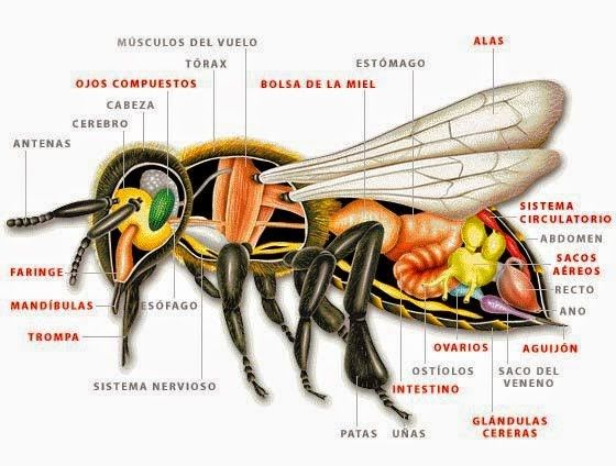 ANATOMÍA DE LA ABEJA MELÍFERA - ANATOMY OF THE BEE HONEY ...