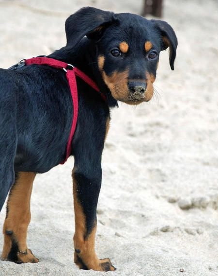 I Love The Little Brown Eyebrows That Rottweilers Have They Make