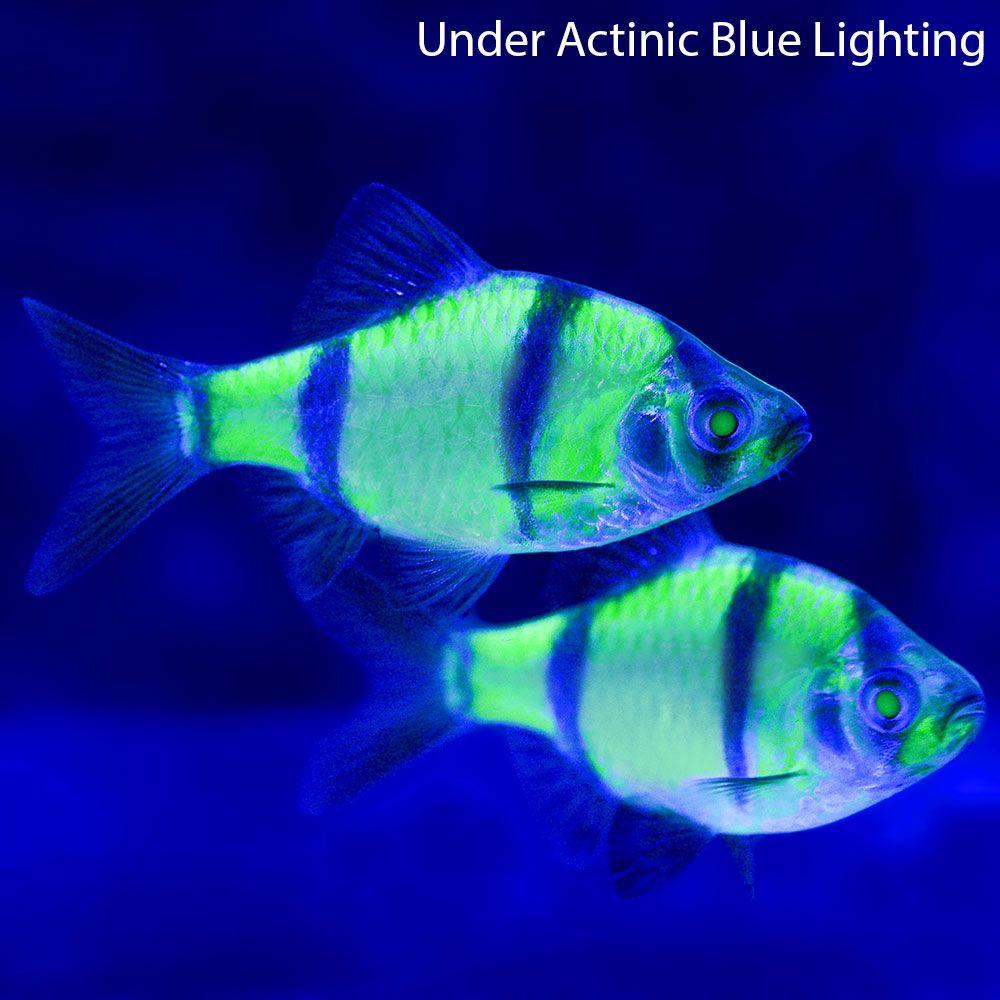 Glofish Electric Green Barb Glofish Live Aquarium Fish Freshwater Aquarium Fish